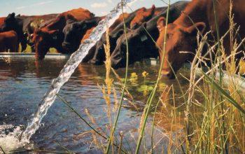 Agua fluyendo a un bebedero para ganado, el cual se encuentra bebiendo.